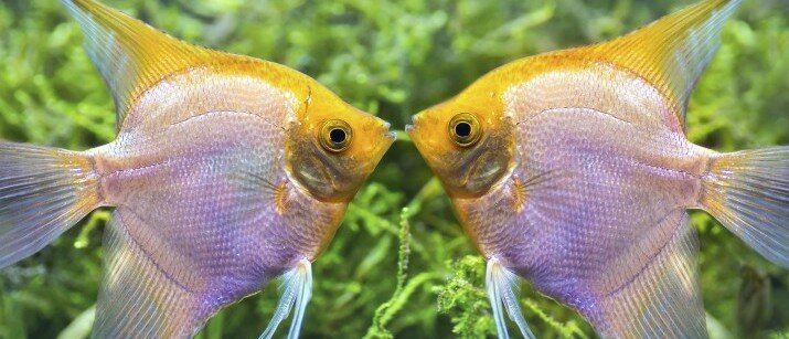 Tropical fish care caring for tropical fish love that pet for Small pet fish