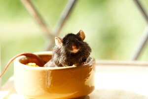 caring for your pet mouse
