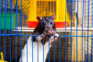 caring for your pet rat